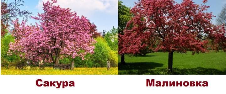 О яблоне Малиновка: описание сорта, характеристики, агротехника, выращивание