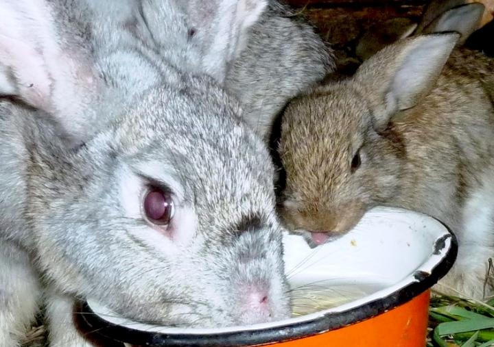 Чем кормить кроликов чтобы они быстро набирали вес