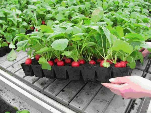 Выращивание редиски в теплице: когда правильно сажать овощ и от чего зависят сроки?