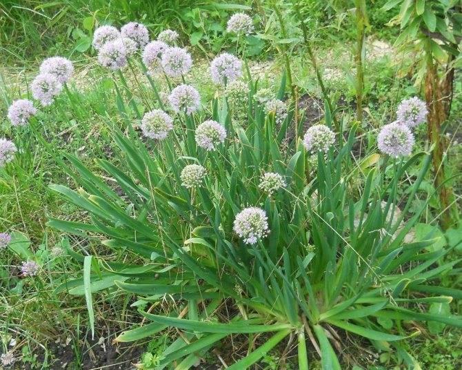 Выращивание лука-слизуна: полезные свойства и уход