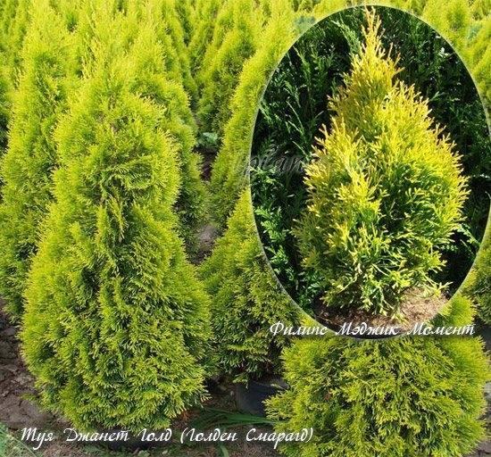 Посадка и уход туи западной — подробная инструкция с советами для правильного выращивания туи (фото и видео)