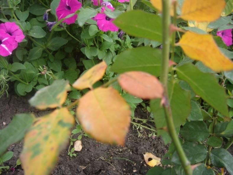 Почему на розе желтеют листья