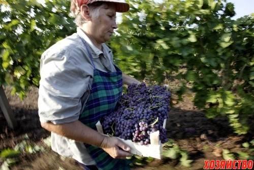 Когда виноград начинает плодоносить после посадки. когда куст начинает давать урожай?