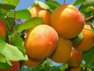 Подходящие сорта абрикоса для подмосковья