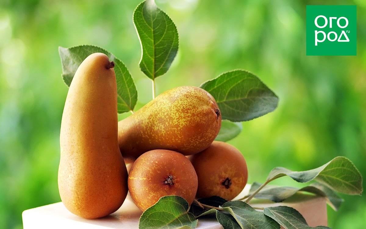 Обзор характеристик поздних сортов груш для выращивая в подмосковье