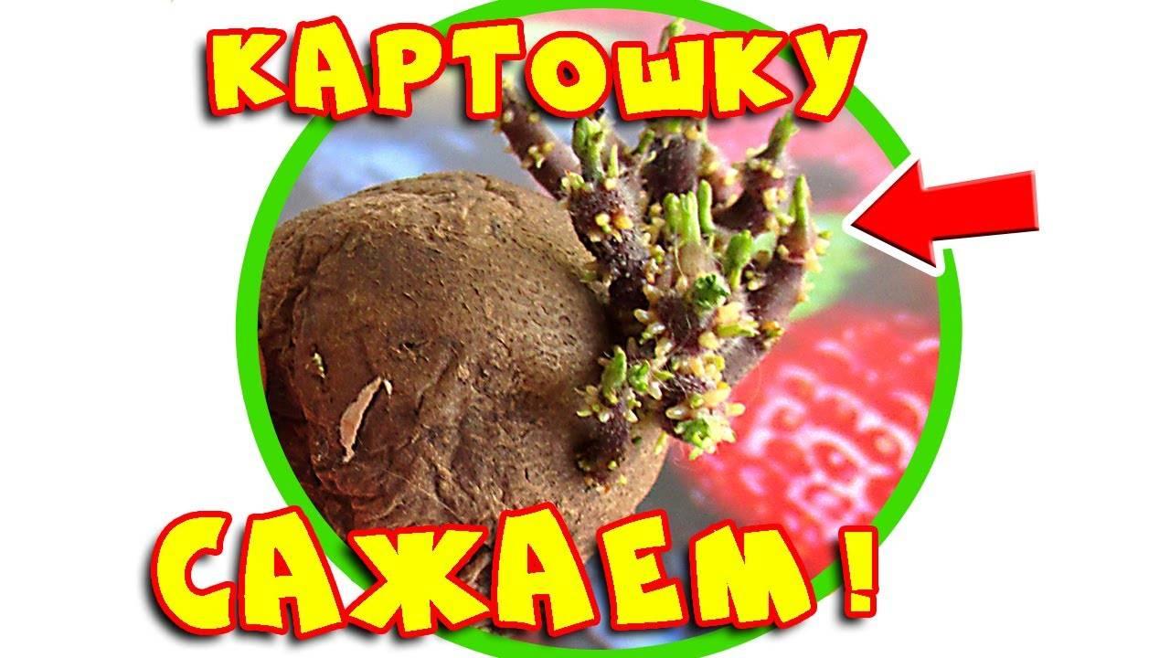 Посадка и выращивание картофеля в открытом грунте: уход