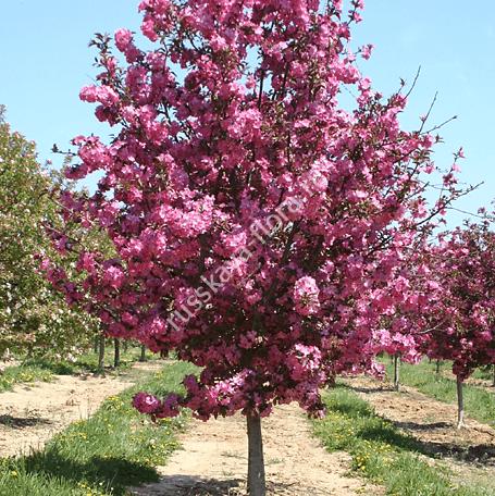 Описание и выращивание сорта яблони гренни смит