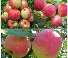Сорт яблок бессемянка мичуринская
