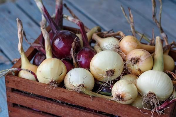 Где хранить лук-севок до посадки весной