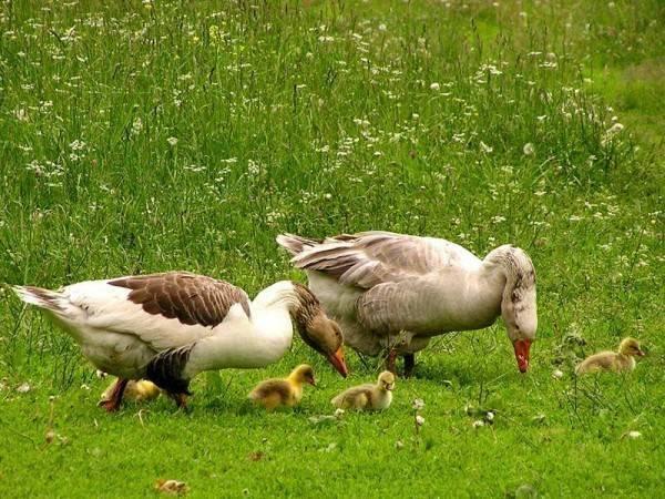 Чем и как правильно кормить гусят в домашних условиях