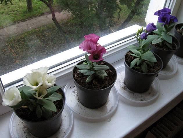 Особенности выращивания эустомы из семян