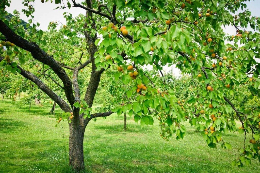 Болезни абрикосовых деревьев и их лечение — монилиоз, камедетечение, клястероспориоз, видео
