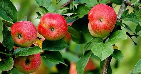 О яблоне Бельфлер Китайка: описание и характеристики сорта, посадка и уход