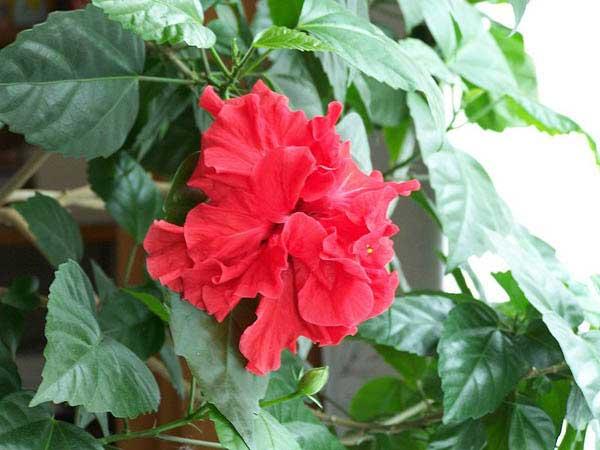 Гибискус (hibiscus) – комнатный цветок
