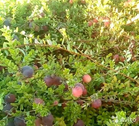 Клюква – фото сортов, выращивание и уход