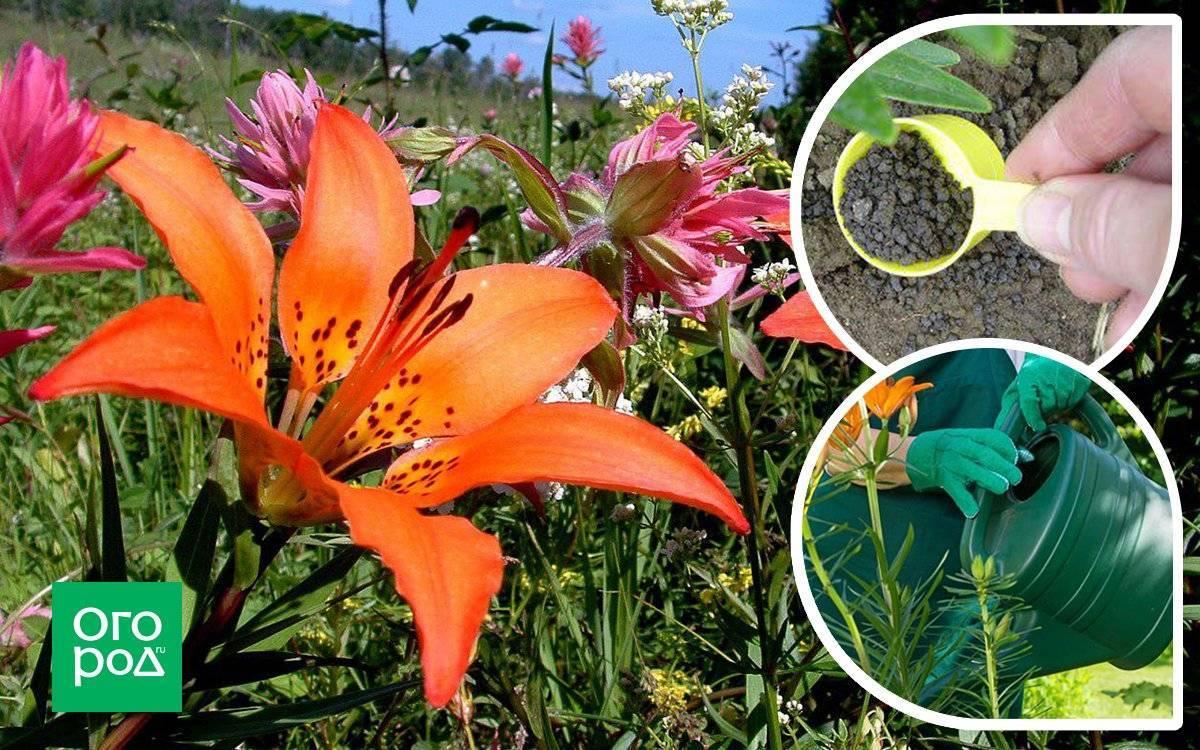 Чем подкармливать лилии весной и перед цветением?