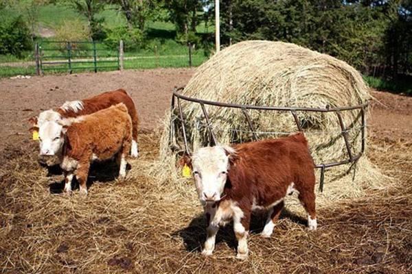 Мини коровы, виды, описание, фото