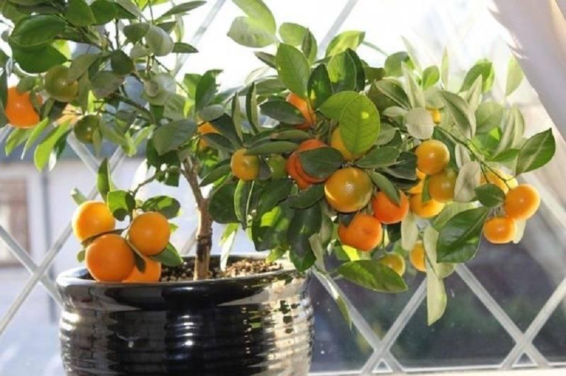 Как ухаживать за комнатным мандарином и как вырастить мандарин из косточк