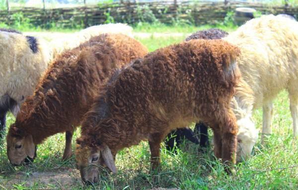 Эдильбаевская порода овец: характеристика, содержание и разведение