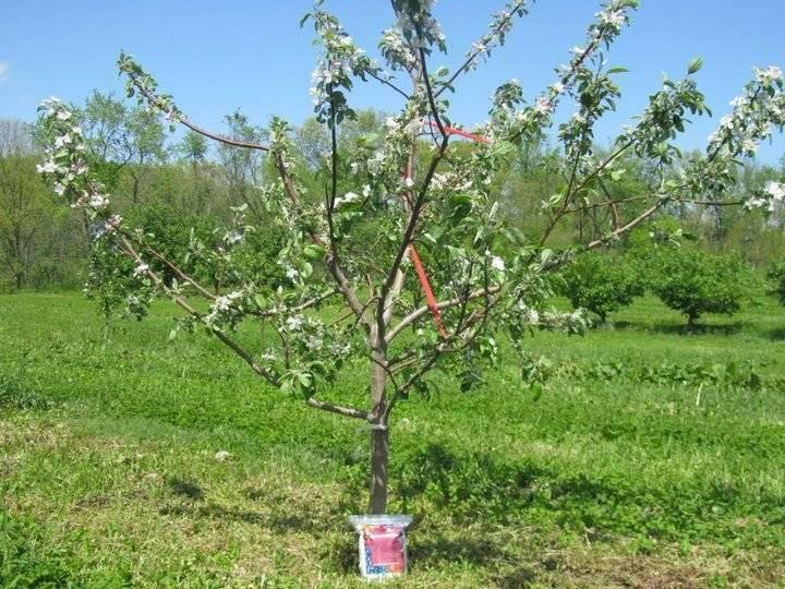 Почему яблоня плодоносит через год? периодическое плодоношение, почему возникает