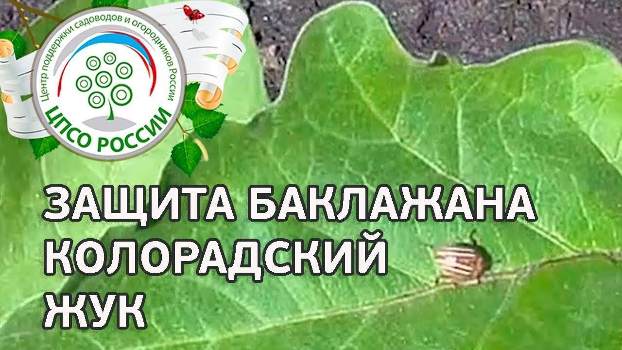 Как бороться с колорадским жуком народными средствами и с помощью препаратов