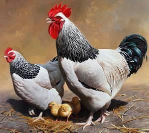 Яйценосные породы кур лучшие - 10 способов выбрать кур лучшей породы!