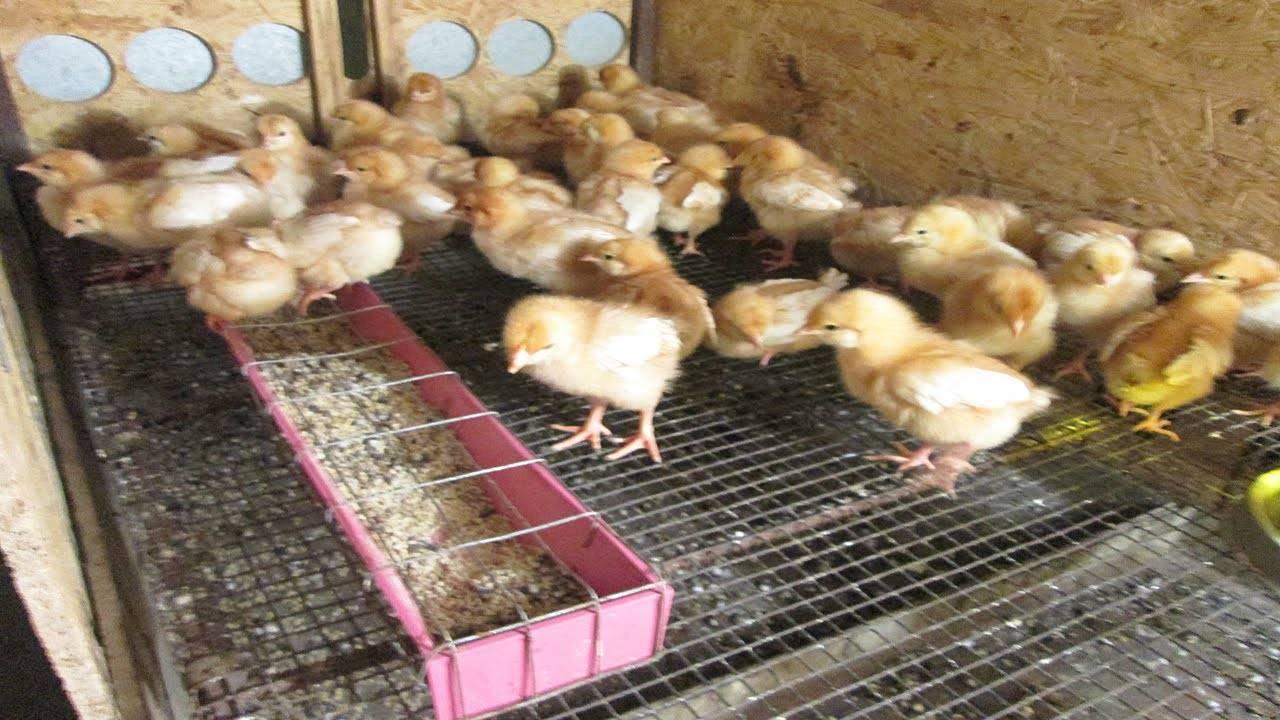 Кормление цыплят несушек в домашних условиях (в первые дни, недельных, месячных)