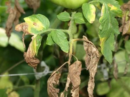 Болезни томатов: топ-5 наиболее опасных заболеваний