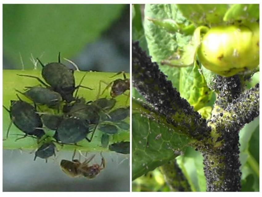 Методы борьбы с белокрылкой на помидорах с помощью химических и народных средств