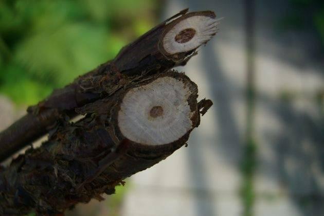 Почему сохнут ветки у черной смородины и на срезе черная сердцевина