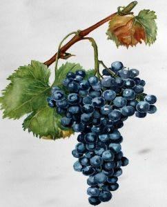 Виноград весной обработка и подкормка от опытного агронома