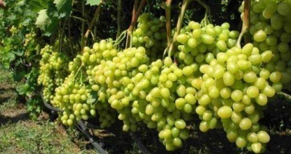 Выращивание винограда в сибири в открытом грунте, посадка и уход для начинающих