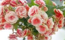 Бегония: уход в домашних условиях, фото цветов, способы размножения цветка, зимовка в комнатных умловиях