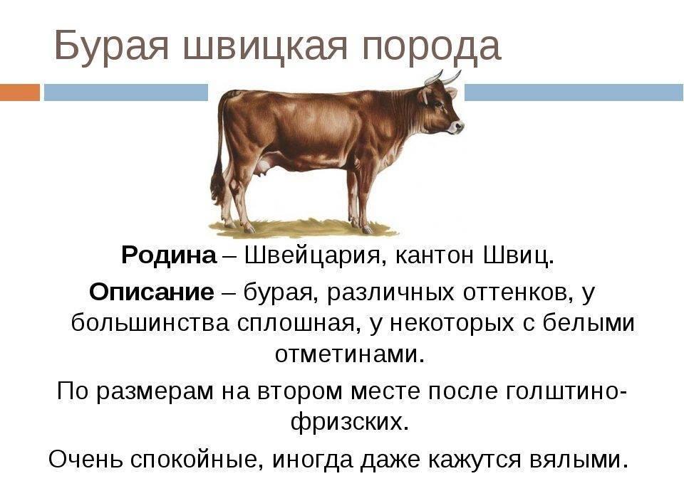 Швицкая корова: условия и перспективы разведения