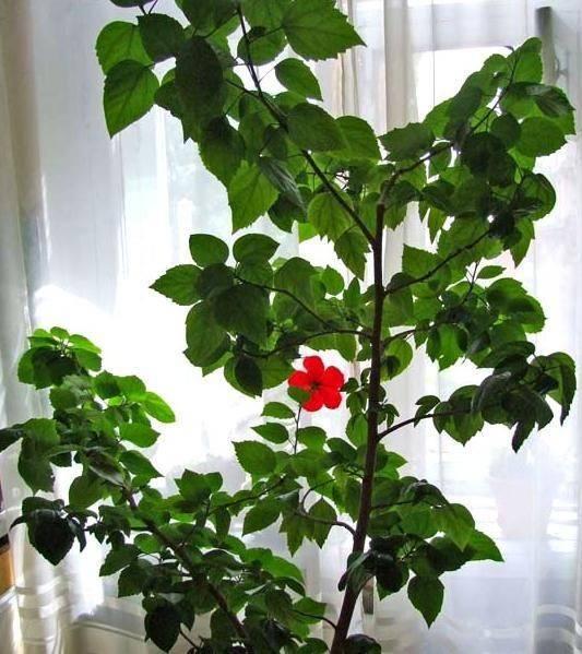 Рекомендации цветоводам по выращиванию и уходу за махровым гибискусом в домашних условиях. фото и описания сортов