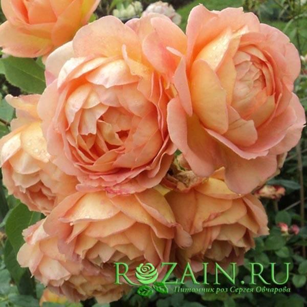 Роза леди оф шалот (lady of shalott) — характеристики шраба