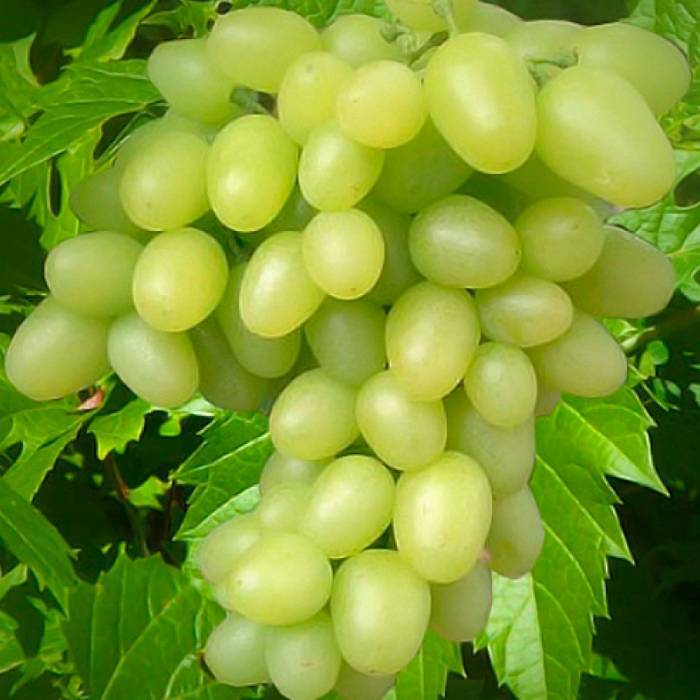 Виноград аркадия розовая