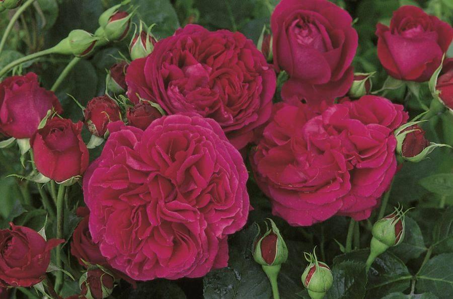 Роза фальстафф энциклопедия роз