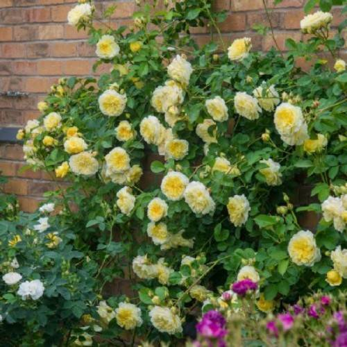 Сорт роз флорибунда раффлс дрим: как посадить и ухаживать за кружевным цветком