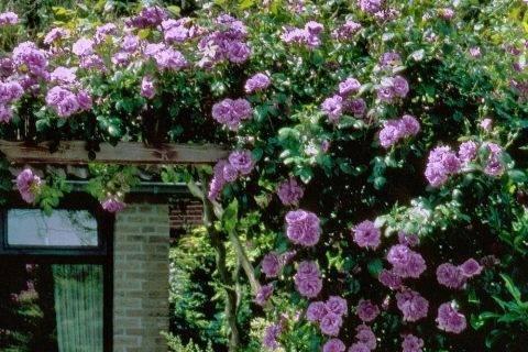 Розы плетистые сорта постоянного цветения: посадка и уход