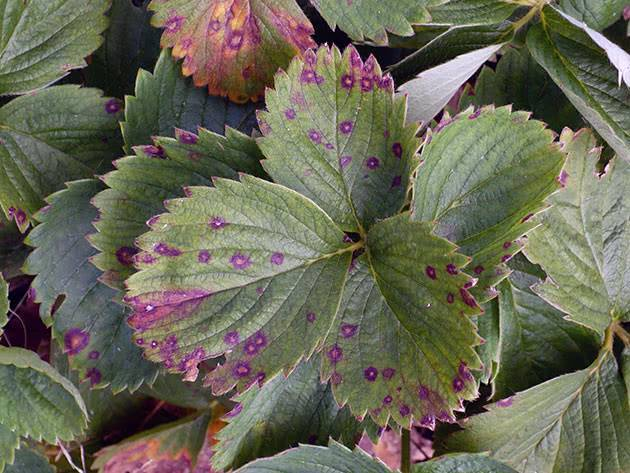 Почему у черешни скрутились листья