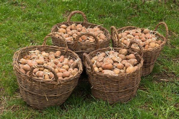 Посадка картофеля без перекопки земли