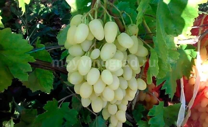 Виноград долгожданный описание сорта фото отзывы