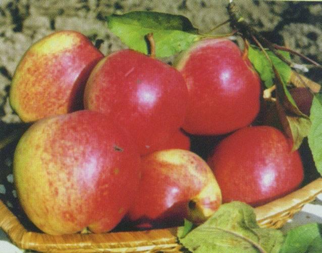 Все о сорте яблони пепин шафранный