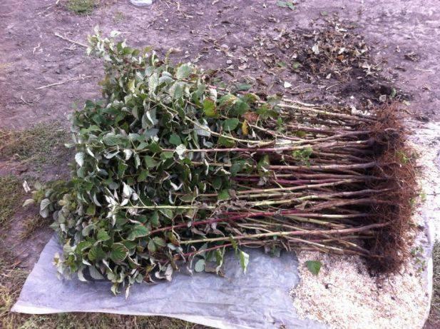 Малиновое дерево таруса – самый урожайный сорт