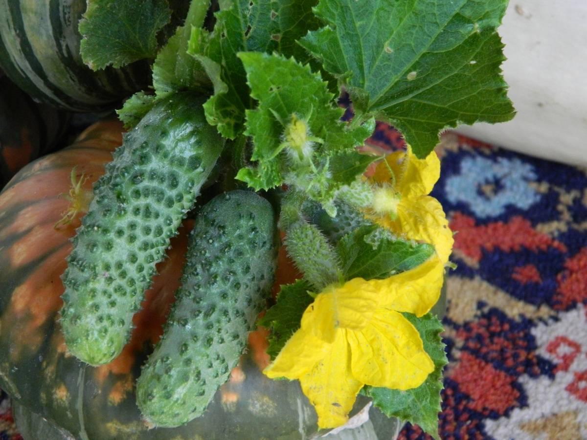 Голландский гибрид огурцов «магдалена f1»: фото, видео, описание, посадка, характеристика, урожайность, отзывы
