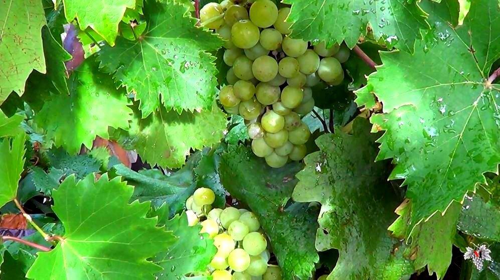 Описание сорта винограда галбена ноу