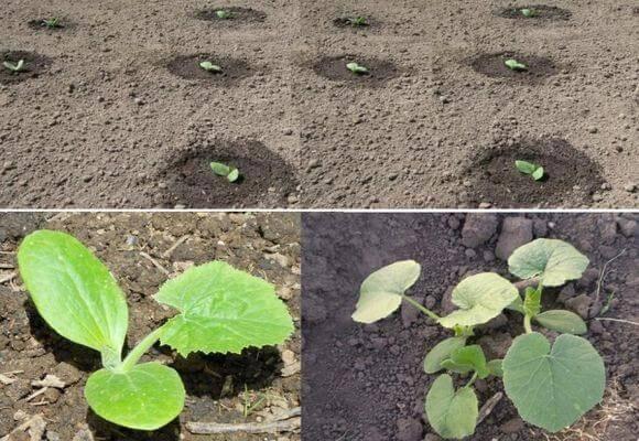 Как вырастить кабачки: простые советы и необычные способы получения урожая