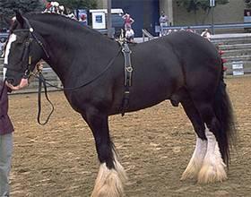 Самая большая лошадь конного мира, кто она?