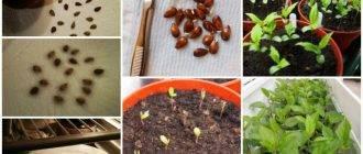Как самостоятельно вырастить яблоню из семечка – инструкция, особенности проводимых работ